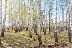 Bosque del abedul de la primavera Imagen de archivo
