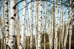 Bosque del abedul de la primavera Imagen de archivo libre de regalías