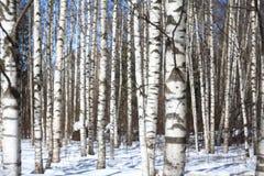 Bosque del abedul de la primavera del fondo y cielo azul Foto de archivo