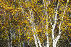 Bosque del abedul de plata del otoño Fotografía de archivo libre de regalías