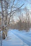 Bosque del abedul del invierno Imágenes de archivo libres de regalías