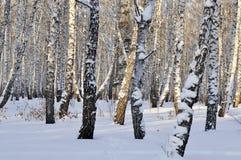 Bosque del abedul del invierno Foto de archivo libre de regalías