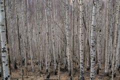 Bosque del abedul del invierno Imagenes de archivo