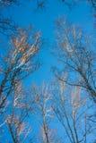 Bosque del abedul del invierno Fotografía de archivo libre de regalías