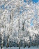 Bosque del abedul del invierno en el cielo azul Fotografía de archivo