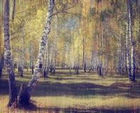 Bosque del abedul del otoño Imagen de archivo