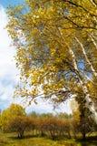 Bosque del abedul del otoño foto de archivo libre de regalías