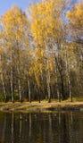 Bosque del abedul del otoño Imagen de archivo libre de regalías
