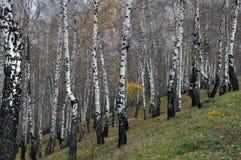 Bosque del abedul del otoño Fotografía de archivo