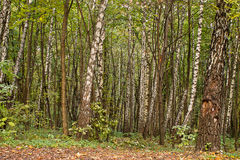 Bosque del abedul del otoño Fotos de archivo libres de regalías