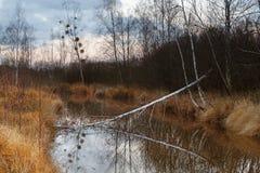 Bosque del abedul del otoño cerca de un lago Imágenes de archivo libres de regalías