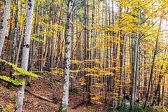 Bosque del abedul del otoño en una cuesta de montaña Foto de archivo