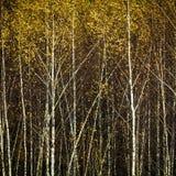 Bosque del abedul del otoño, fondo Imágenes de archivo libres de regalías