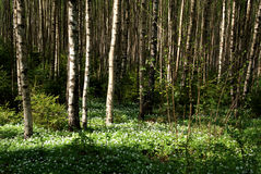 Bosque del abedul del resorte con Windflowers Imágenes de archivo libres de regalías