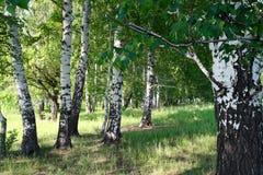 Bosque del abedul del verano Foto de archivo libre de regalías