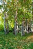 Bosque del abedul del verano Imagen de archivo libre de regalías