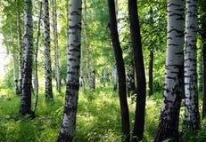 Bosque del abedul del verano Fotografía de archivo libre de regalías