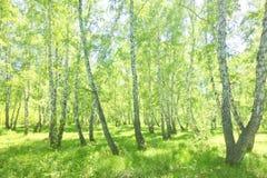 Bosque del abedul del verano Foto de archivo
