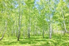 Bosque del abedul del verano Fotografía de archivo