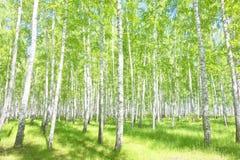 Bosque del abedul del verano Imagen de archivo
