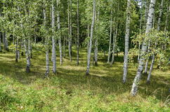 Bosque del abedul del verano anticipado en la montaña Vitosha Foto de archivo