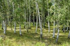 Bosque del abedul del verano anticipado en la montaña Vitosha Imagen de archivo