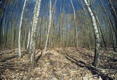 Bosque del abedul después del invierno Fotos de archivo libres de regalías