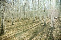 Bosque del abedul en último otoño Fotos de archivo libres de regalías