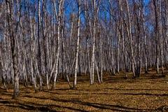 Bosque del abedul en último otoño Fotografía de archivo