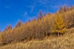 Bosque del abedul en último otoño Imagen de archivo