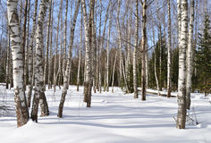 Bosque del abedul en día de invierno asoleado Foto de archivo