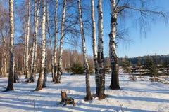 Bosque del abedul en día de invierno soleado Fotografía de archivo