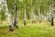 Bosque del abedul en el campo de Rusia Imágenes de archivo libres de regalías