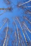 Bosque del abedul en el cielo azul Foto de archivo libre de regalías
