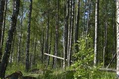 Bosque del abedul en el comienzo del verano Foto de archivo