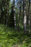 Bosque del abedul en el comienzo del verano Imagenes de archivo