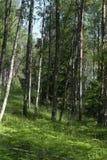 Bosque del abedul en el comienzo del verano Fotografía de archivo libre de regalías