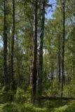 Bosque del abedul en el comienzo del verano Foto de archivo libre de regalías