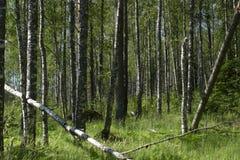 Bosque del abedul en el comienzo del verano Imágenes de archivo libres de regalías