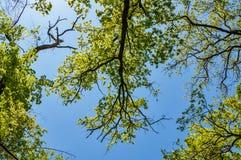 Bosque del abedul en el fondo del cielo Árboles verdes en fondo del cielo azul Imagen de archivo libre de regalías