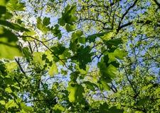 Bosque del abedul en el fondo del cielo Árboles verdes en fondo del cielo azul Foto de archivo