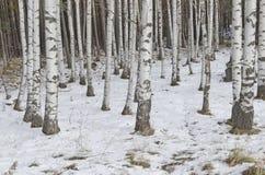Bosque del abedul en el invierno Fotos de archivo libres de regalías