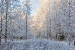 Bosque del abedul en el invierno Fotografía de archivo libre de regalías