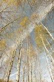 Bosque del abedul en el otoño, retro-mirada Fotos de archivo