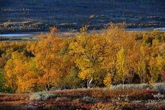 Bosque del abedul en el paisaje del otoño, dovrefjell, Noruega Imagen de archivo
