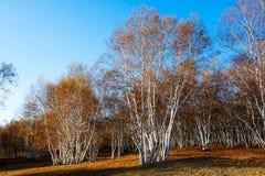 Bosque del abedul en el prado Fotos de archivo