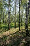 Bosque del abedul en el tiempo de primavera Imagenes de archivo