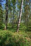 Bosque del abedul en el tiempo de primavera Fotografía de archivo libre de regalías