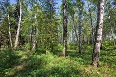 Bosque del abedul en el tiempo de primavera Fotos de archivo