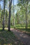 Bosque del abedul en el tiempo de primavera Foto de archivo libre de regalías